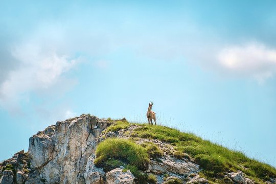 Low Angle View Of Chamois Standing On Cliff Against Sky