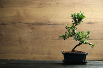 Printed kitchen splashbacks Bonsai Japanese bonsai plant on black wooden table, space for text. Creating zen atmosphere at home