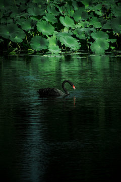 Black Swan Swimming In Lake By Water Lily Pads