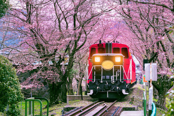 Wall Mural - Romantic train runs through tunnel of cherry blossoms in Kyoto, Japan.