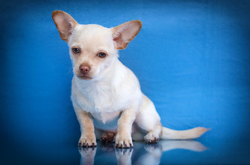 Wall Mural - beige chihuahua puppy sitting on a blue background