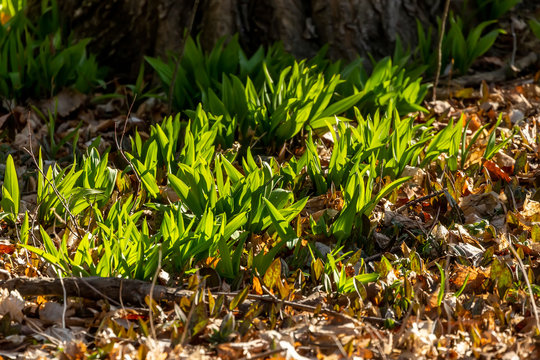 Wild Ramps - wild garlic ( Allium tricoccum), commonly known as ramp, ramps, spring onion,  wild leek, wood leek.  North American species of wild onion. in Canada, ramps are considered rare delicacies