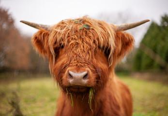Photo sur Aluminium Vache Highland cow eating some grass