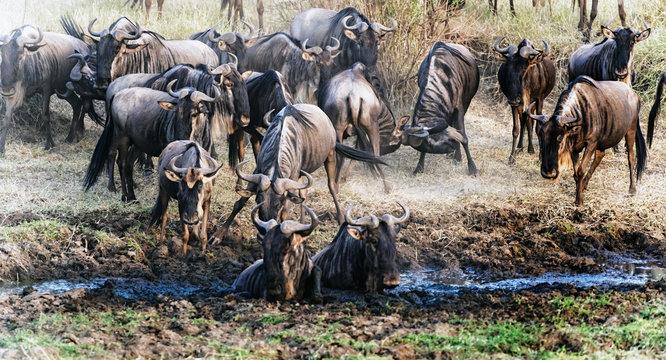 Blue Wildebeest, crossing river in  Serengeti National Park in Tanzania