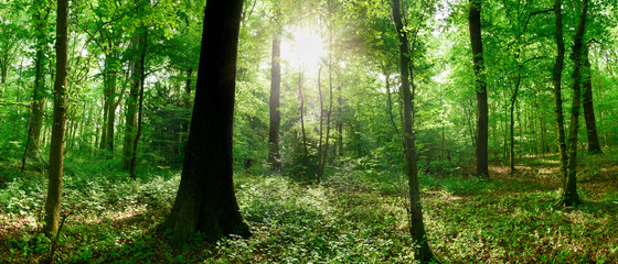 Foto auf Gartenposter Grun Green forest panorama in summer with bright sun shining through the trees