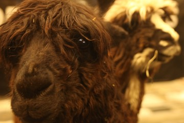 BROWN CLOSEUP OF ALPACA, EYE,