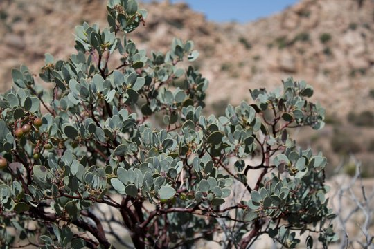 Big Berry Manzanita, Arctostaphylos Glauca, native shrub of Pioneertown Mountains Preserve in the Southern Mojave Desert, presents foliage with truly transfixing texture and color.