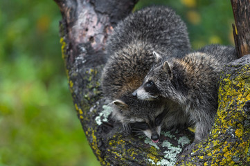 Fotomurales - Raccoons (Procyon lotor) Huddle Together in Tree Autumn