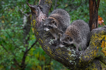 Fotomurales - Raccoons (Procyon lotor) Stare Down From Tree Autumn