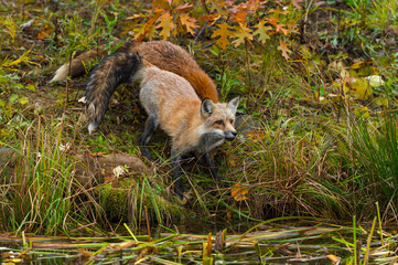 Fotomurales - Red Foxes (Vulpes vulpes) Stand Near Island Edge Looking Out Autumn