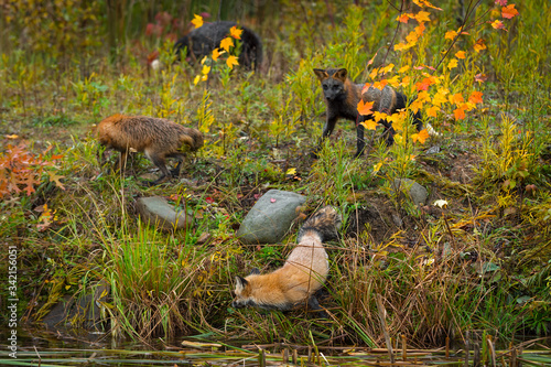 Wall mural Red Foxes (Vulpes vulpes) Variations Gather on Island Autumn