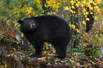 Fotomurales - Black Bear (Ursus americanus) Turns Looking Up From Rock Autumn