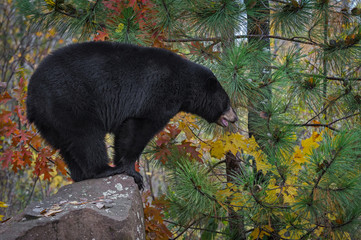 Fotomurales - Black Bear (Ursus americanus) Stands in Profile on Rock Autumn