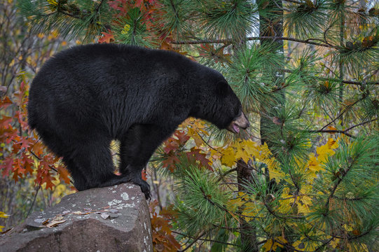 Black Bear (Ursus americanus) Stands in Profile on Rock Autumn