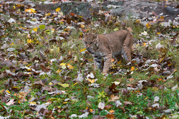 Fotomurales - Bobcat (Lynx rufus) With Dead Mouse in Mouth Autumn