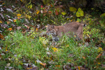 Fotomurales - Bobcat (Lynx rufus) Stalks Left Through Grasses Autumn