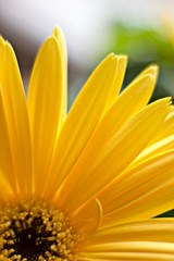 Papiers peints Tournesol yellow daisy flower closeup petals