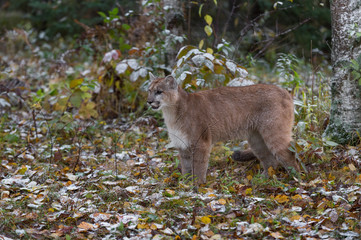 Fotomurales - Cougar (Puma concolor) Stands in Snow Dusted Leaves Autumn