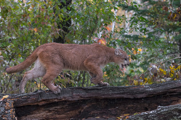 Fotomurales - Cougar (Puma concolor) Walks Right Across Log Autumn