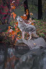 Fototapete - Coyote (Canis latrans) Stands on Rock Howling Reflected in Pond Autumn