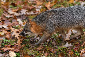 Fototapete - Grey Fox (Urocyon cinereoargenteus) Walks Left Close Up Autumn