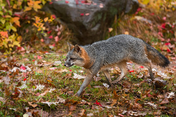Fototapete - Grey Fox (Urocyon cinereoargenteus) Trots Left Past Rock Autumn
