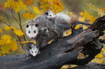 Fotomurales - Virginia Opossum (Didelphis virginiana) Family Stares Out From Log Autumn