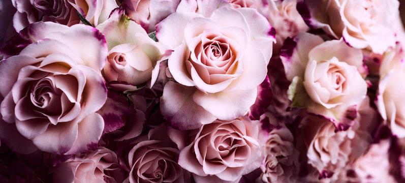 Rosen in pink rot dunkel Hintergrund