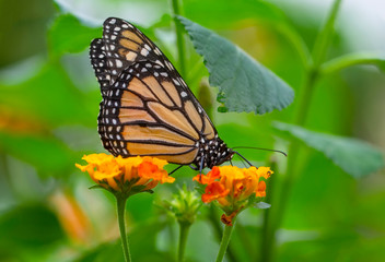 Foto op Textielframe Vlinder Monarch, Danaus plexippus is a milkweed butterfly (subfamily Danainae) in the family Nymphalidae butterfly in nature habitat.