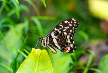 Ingelijste posters Vlinder Closeup beautiful butterfly in a summer garden
