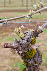 Grapevine stalk with new growth grape buds in vineyard