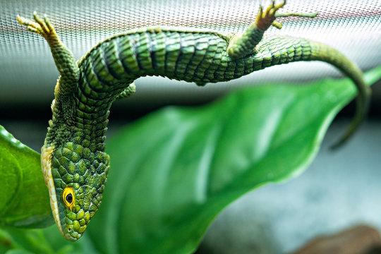 Abronia Gramina Mexican Alligator Lizard