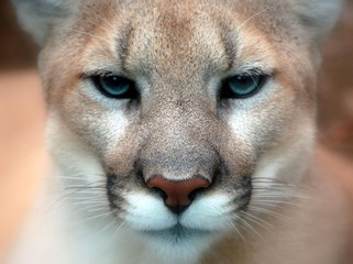 Photo sur Aluminium Puma Puma Concolor