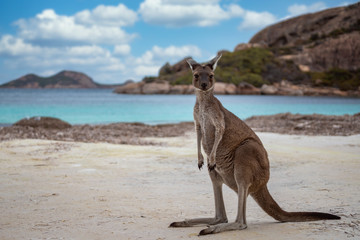 Wall Mural - Kangaroo at Lucky Bay in the Cape Le Grand National Park near Esperance