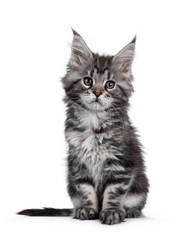 Wall Mural - Super cute silver tabby Maine Coon cat kitte, sitting facing front. Looking dreamy beside camera. Isolated on white background.