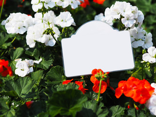 Wall Mural - Close up Geranium flower in bloom with white card in the garden.