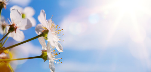 Fototapete - Abstract spring background with blooming cherry tree; spring flower on blue sky background