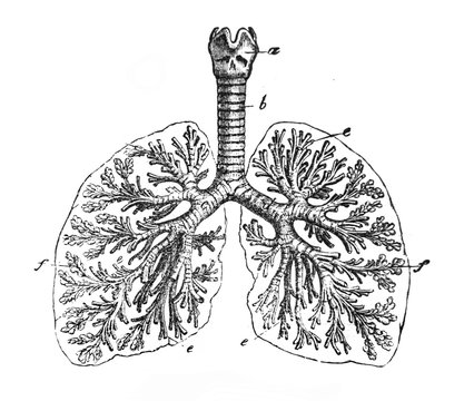 The lungs closer view in the old book The Human Body, by K. Bock, 1870, St. Petersburg