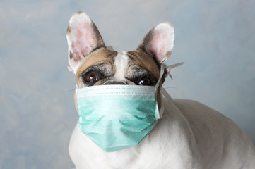 Stores photo Bouledogue français Bouledogue français avec masque anticoronavirus