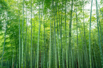Canvas Prints Bamboo Sunshine and green bamboo forest