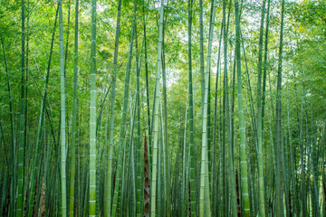Spoed Fotobehang Bamboo Sunshine and green bamboo forest