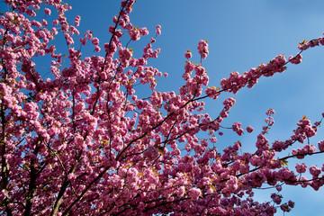 Foto auf AluDibond Hochrote Cerisier du Japon en fleurs