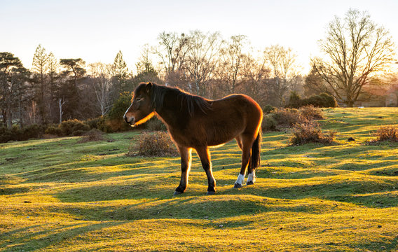 Sunset in the New Forest with Pony Silhouette