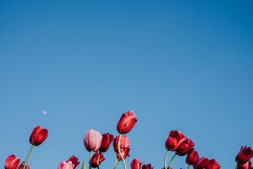 Close-up Of Red Flowers Against Clear Blue Sky