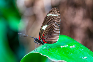 Beautiful heliconius butterfly sitting on flower in a summer garden