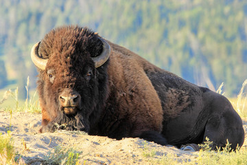 Male bison lying in dust, Yellowstone National Park, Wyoming