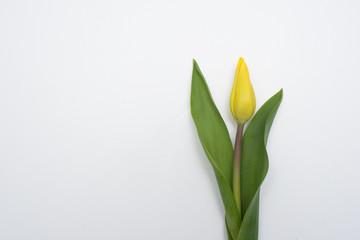 Żółty kwiat tulipan na białym tle