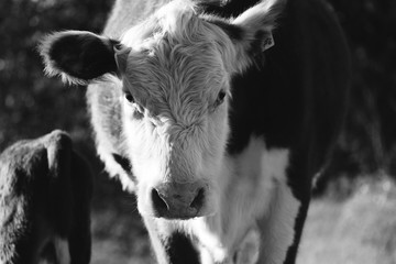 Wall Mural - Hereford cow close up looking at camera on beef farm in black and white.