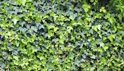 Zarośnięty zielony płot