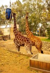 giraffe in the zoo, giraffe eat, safari